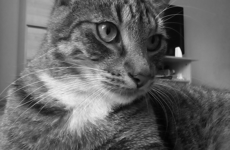ritratto di gatto